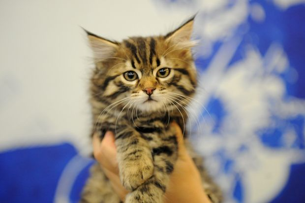 Кошка. Фото с сайта zooprim.ru