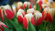 Тюльпаны. Фото с сайта hdinterior.ru