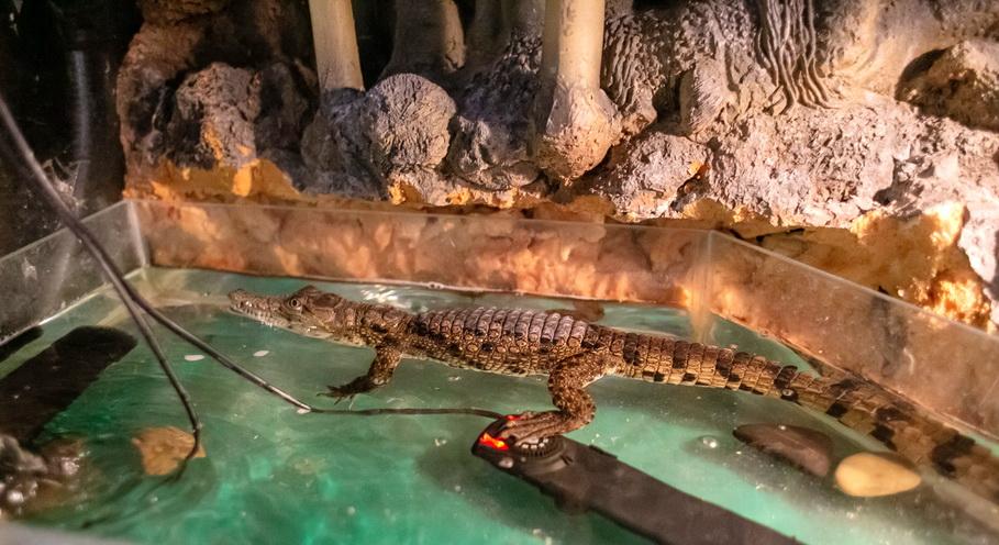 Крокодил в контактном зоопарке в Гринвиче в Екатеринбурге. Фото — Weburg