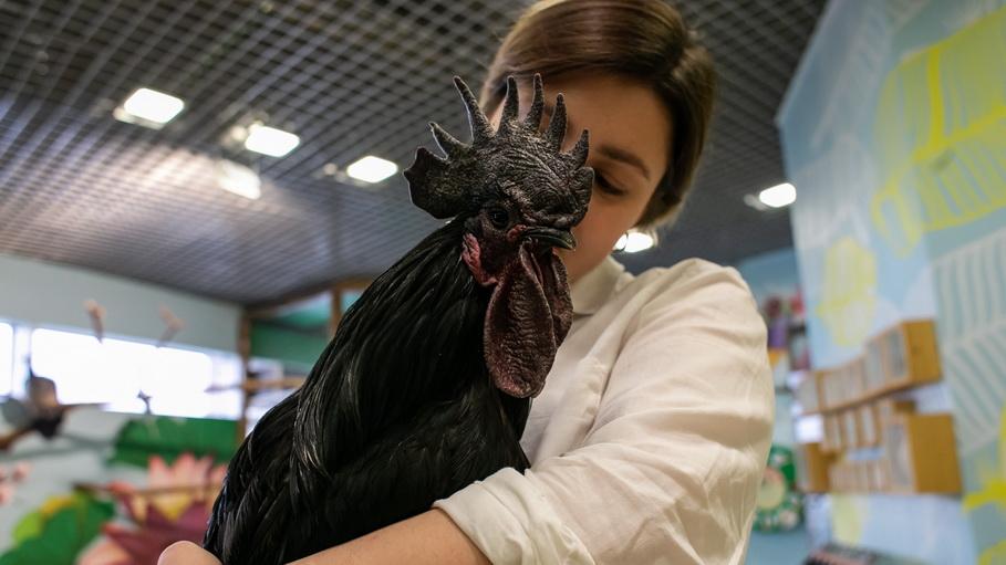 Петух в контактном зоопарке в Фан-Фане в Екатеринбурге. Фото — Weburg
