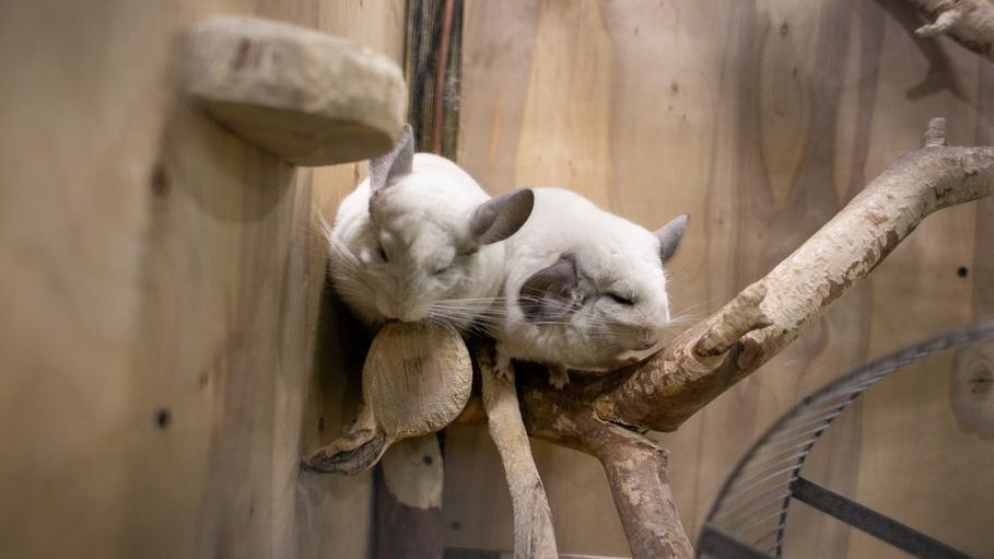 Шиншилы в контактном зоопарке Лукоморье в Екатеринбурге. Фото —Weburg