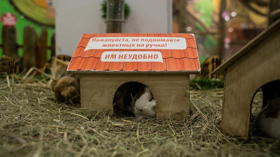Морские свинки в контактном зоопарке Лукоморье в Екатеринбурге. Фото — Weburg