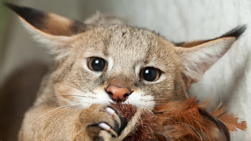 Кошка породы чаузи. Фото с сайта vashipitomcy.ru