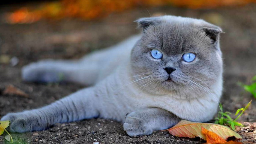 Шотландский вислоухий кот. Фото с сайта pipcat.ru