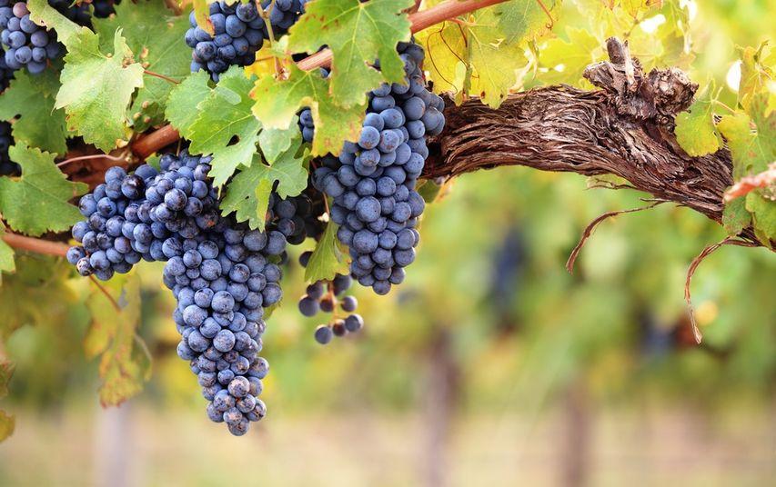 Виноградник. Фото с сайта tourtrans.ru