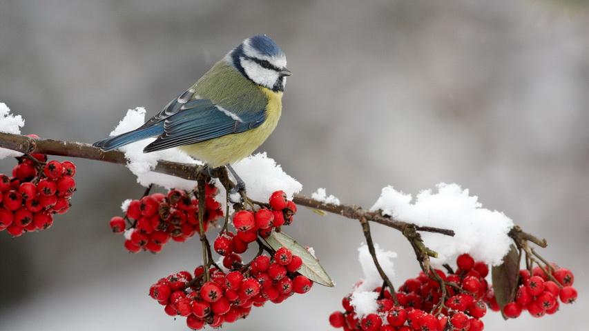 Синица зимой. Фото с сайта nnm.me