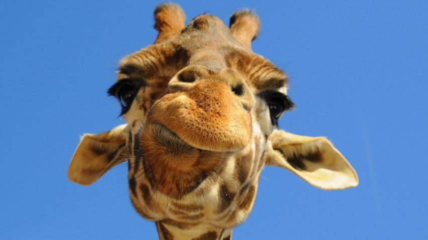 Улыбающийся жираф. Фото с сайта imagesait.ru