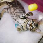 Выставка кошек Wild Wild Cats 2014 в Екатеринбурге, фото 2