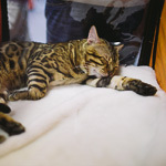 Выставка кошек Wild Wild Cats 2014 в Екатеринбурге, фото 3
