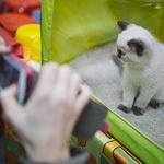 Выставка кошек Wild Wild Cats 2014 в Екатеринбурге, фото 4