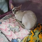 Выставка кошек Wild Wild Cats 2014 в Екатеринбурге, фото 5