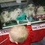 Выставка кошек Wild Wild Cats 2014 в Екатеринбурге, фото 6