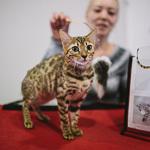 Выставка кошек Wild Wild Cats 2014 в Екатеринбурге, фото 7