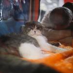 Выставка кошек Wild Wild Cats 2014 в Екатеринбурге, фото 10