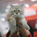 Выставка кошек Wild Wild Cats 2014 в Екатеринбурге, фото 11