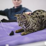 Выставка кошек Wild Wild Cats 2014 в Екатеринбурге, фото 13