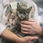 Выставка кошек Wild Wild Cats 2014 в Екатеринбурге, фото 19