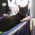 Выставка кошек Wild Wild Cats 2014 в Екатеринбурге, фото 23