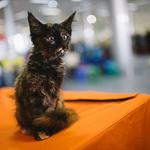 Выставка кошек Wild Wild Cats 2014 в Екатеринбурге, фото 25