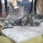 Выставка кошек Wild Wild Cats 2014 в Екатеринбурге, фото 26