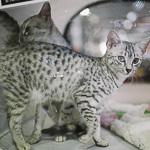Выставка кошек Wild Wild Cats 2014 в Екатеринбурге, фото 32