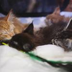 Выставка кошек Wild Wild Cats 2014 в Екатеринбурге, фото 34