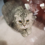 Выставка кошек Wild Wild Cats 2014 в Екатеринбурге, фото 35