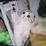 Выставка кошек Wild Wild Cats 2014 в Екатеринбурге, фото 36