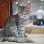 Выставка кошек Wild Wild Cats 2014 в Екатеринбурге, фото 38