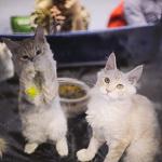 Выставка кошек Wild Wild Cats 2014 в Екатеринбурге, фото 39