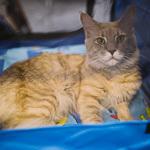 Выставка кошек Wild Wild Cats 2014 в Екатеринбурге, фото 40