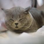 Выставка кошек Wild Wild Cats 2014 в Екатеринбурге, фото 41