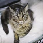 Выставка кошек Wild Wild Cats 2014 в Екатеринбурге, фото 43