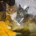 Выставка кошек Wild Wild Cats 2014 в Екатеринбурге, фото 44