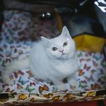 Выставка кошек Wild Wild Cats 2014 в Екатеринбурге, фото 48