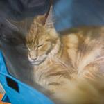 Выставка кошек Wild Wild Cats 2014 в Екатеринбурге, фото 49