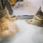 Выставка кошек Wild Wild Cats 2014 в Екатеринбурге, фото 50