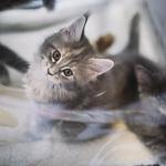 Выставка кошек Wild Wild Cats 2014 в Екатеринбурге, фото 51