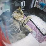 Выставка кошек Wild Wild Cats 2014 в Екатеринбурге, фото 53
