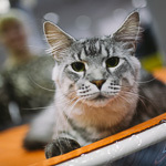 Выставка кошек Wild Wild Cats 2014 в Екатеринбурге, фото 54