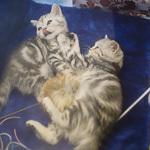 Выставка кошек Wild Wild Cats 2014 в Екатеринбурге, фото 55