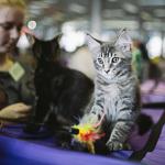Выставка кошек Wild Wild Cats 2014 в Екатеринбурге, фото 58