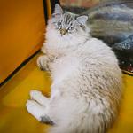 Выставка кошек Wild Wild Cats 2014 в Екатеринбурге, фото 59