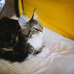 Выставка кошек Wild Wild Cats 2014 в Екатеринбурге, фото 60