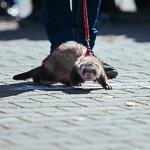 День хорька в Екатеринбурге, фото 6