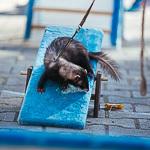День хорька в Екатеринбурге, фото 11