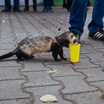 День хорька в Екатеринбурге, фото 25
