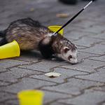 День хорька в Екатеринбурге, фото 28