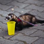 День хорька в Екатеринбурге, фото 35