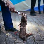 День хорька в Екатеринбурге, фото 46